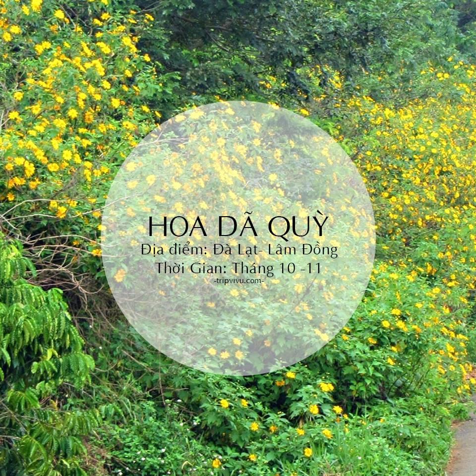 Mùa hoa Dã Quỳ Lâm Đồng