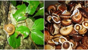 Ốc núi Ninh Bình đặc sản thơm ngon và cách chế biến